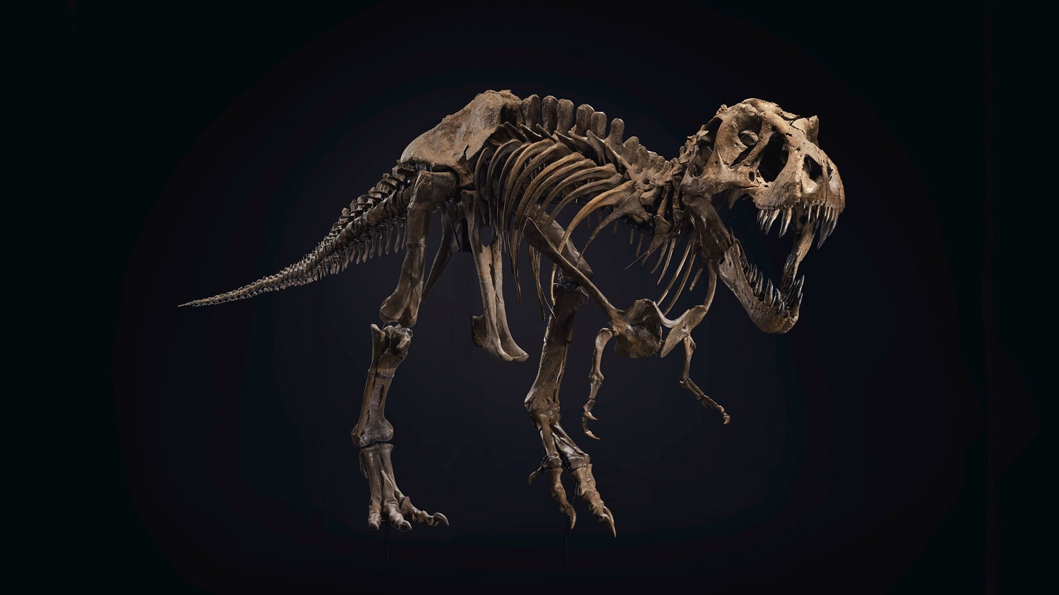 One Of The Largest Most Complete T-Rex Skeleton Up For Sale